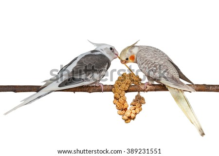 Two young cockatiels feeding on a bunch of foxtail millet isolated on white background - stock photo