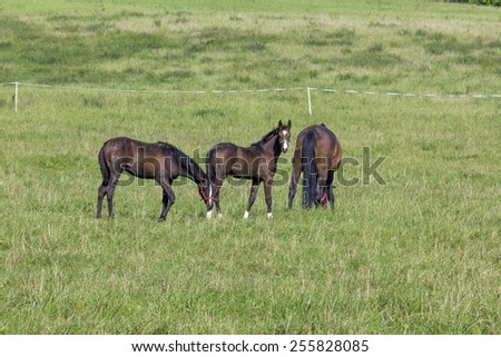 two young colts and mare mare grazing on green meadow; one of the colts looking into the camera - stock photo