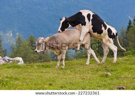 Cows sex