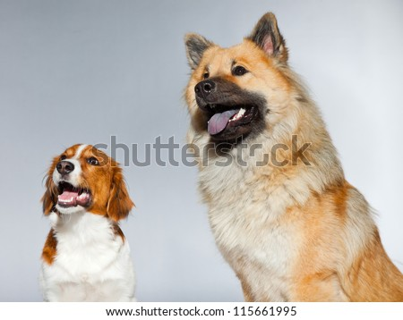 Two young cute dogs together. Small and big. Eurasier dog and Kooiker hound. Studio shot isolated on grey background. - stock photo