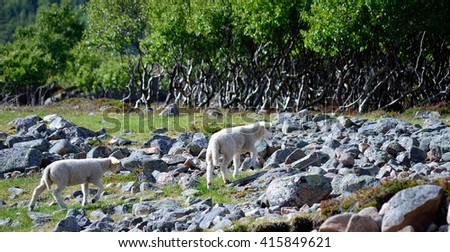 two young cute sheeps in the summer sun - stock photo