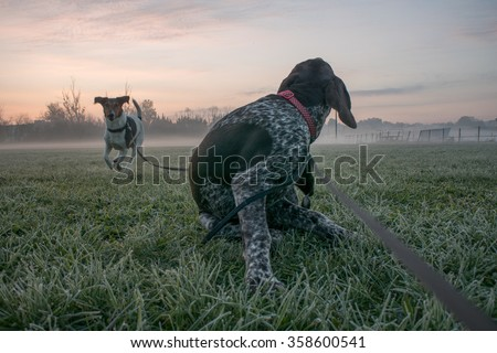 Two young dog on morning walk, playing together, foggy sunrise - stock photo