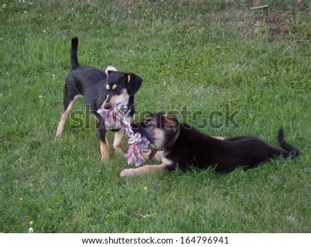 Two young dogs playing with artificial toy bone