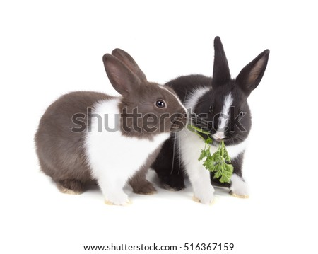 Two young dwarf rabbit eating a sprig of parsley. Isolated on white background