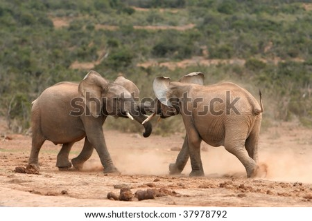 Two young elephants fighting creating clouds of dust - stock photo