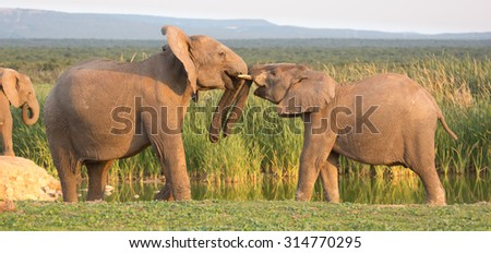 Two young elephants greeting each other with trunks touching - stock photo