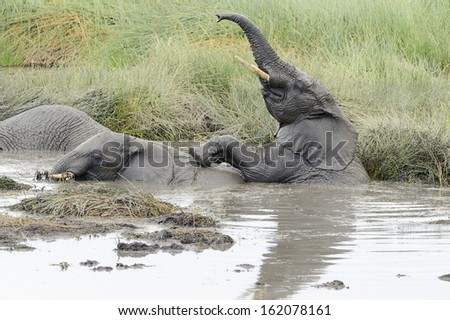 Two young elephants playing in a water pool. - stock photo