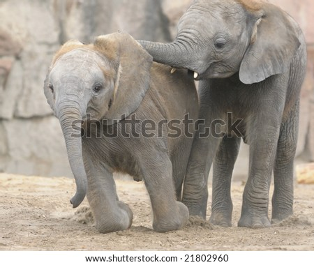 two young elephants playing with each other in the zoo - stock photo