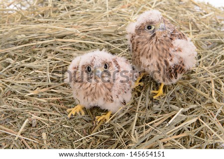 two young falcon bird sitting in a straw nest - stock photo
