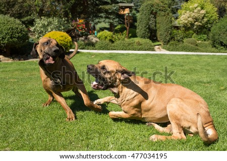 two young female of Fila Brasileiro (Brazilian Mastiff) playing outdoor on green grass with opened mouth and big tooth. Fila is large working breed of dog developed in Brazil