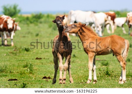 Two young foals playing on a green pasture surrounded but cows and other horses. They have funny facial expressions like they are talking and one is very surprised by what he has just heard :D - stock photo