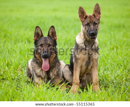 two young German Shepherd on a green grass of a summer field - stock photo