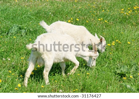 Two young goats grazing on summer green grass