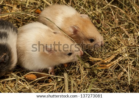 Two young hamsters on the hay. - stock photo