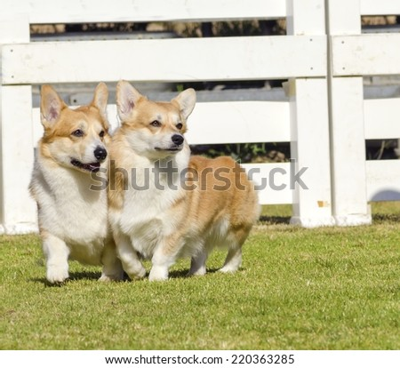 Two young,healthy,beautiful,red sable and white Welsh Corgi Pembroke dogs with a docked tail walking on the grass happily.Welsh Corgis have short legs,long body, big erect ears and is a herding breed. - stock photo