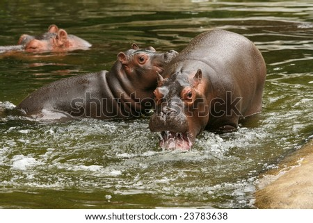Two young hippo's playing in the water