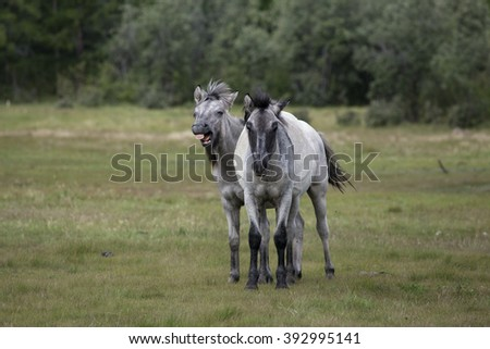 Two young horses in the meadow. Yakutia. Russia. - stock photo