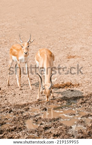 Two young impalas antelope has come on watering place. - stock photo