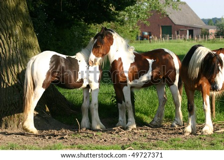 two young Irish Cob filly make friends - stock photo