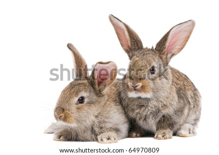 two young light brown rabbits with long ears isolated on white - stock photo