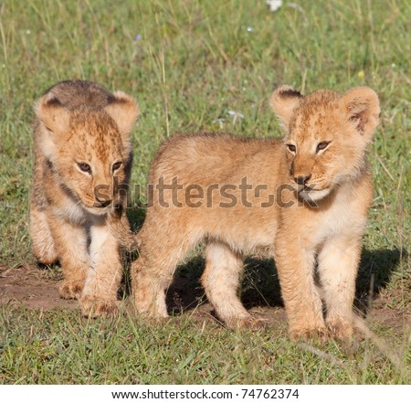 "Two young lion cubs. Part of the ""Marsh Pride"" in Kenya's Masai Mara national park - stock photo"