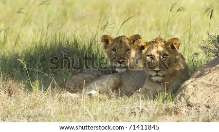 Two young lion cubs resting on a grassland plain.