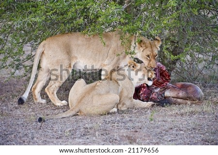 Two young lionesses killed this wildebeest and ate it - stock photo