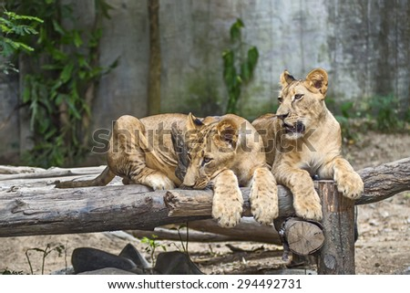 Two young Lions lying on the timber. - stock photo