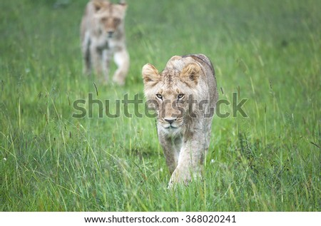 Two young lions stalk through the African plains towards the viewer - stock photo
