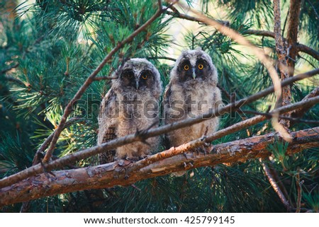 Two young long eared owls (Asio otus) sitting on a branch of pine tree. Pair of owlets are looking at camera.  - stock photo