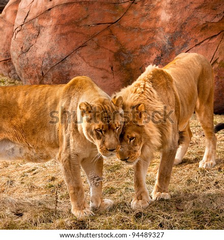 Two young male lion brothers having an affectionate moment - stock photo