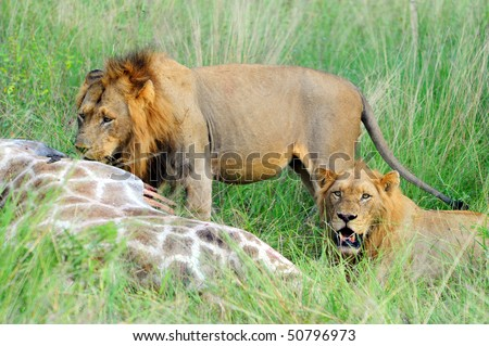 Two young male lions feeding on a fresh kill, Kruger Park, South Africa