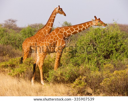 Two young males of reticulated giraffe (Giraffa camelopardalis reticulata)  eating leaves from bushes of savannah in Samburu National Reserve Kenya