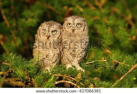 Two young owls on larch tree