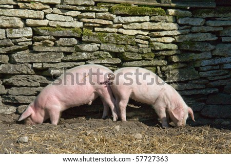 Two young piglets eating on farm - stock photo
