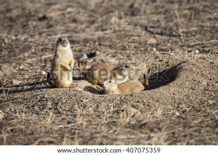 Two young prairie dogs (Cynomys ludovicianus) wait near the entrance to a burrow while an adult watches for danger - stock photo