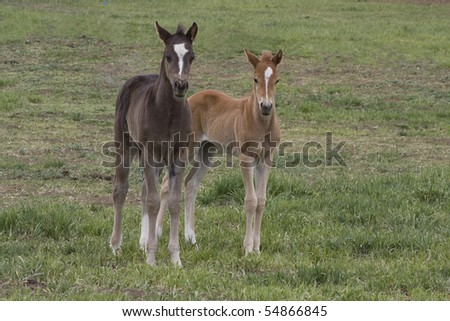 Two young Quarter Horses in a Pasture - stock photo