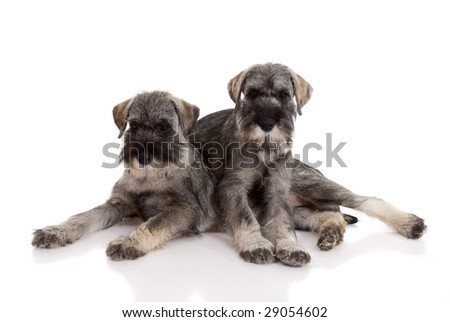 two young schnauzers on white background.
