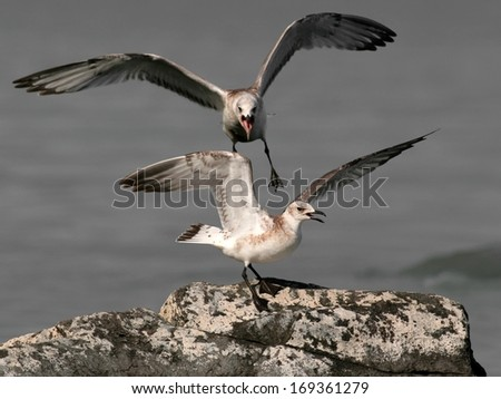 Two young seagulls in quarrel - stock photo