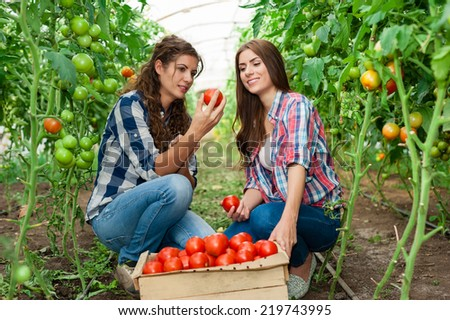 Two Young smiling agriculture women worker,harvesting tomatoes  in greenhouse and a crate of tomatoes in the front.  - stock photo