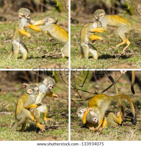 Two young Squirrel Monkeys (Saimiri boliviensis) fighting, compilation - stock photo