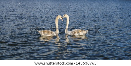 Two young swans together in a pond - stock photo