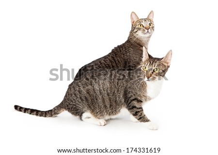 Two young tabby cats standing next to each other on a white background. Selective focus on the front cat. - stock photo