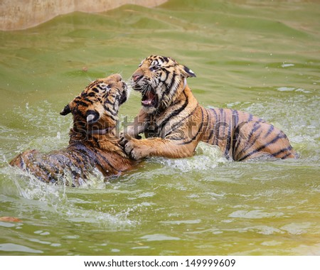 Two young tiger playing in water - stock photo