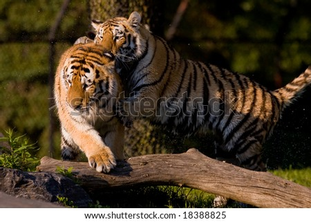 Two young tigers fighting in the sunset sun. - stock photo
