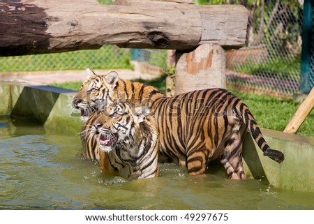 Two young tigers playing at Tiger Kindgom Park - Chiang Mai, Thailand - stock photo
