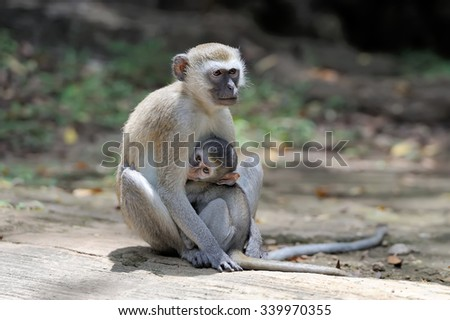 Two young vervet monkey on a stone - stock photo