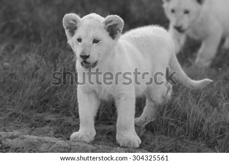 Two young white lion cub in this image. South Africa