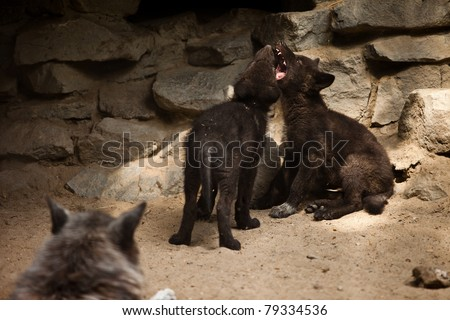 two young wolf playing with each other - stock photo