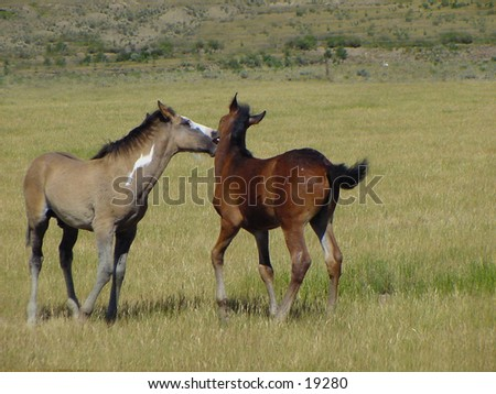 Two young yearlings playing in a field. - stock photo